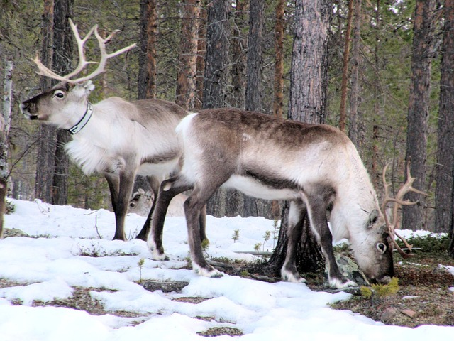 Reindeer, a common sight in Lapland.